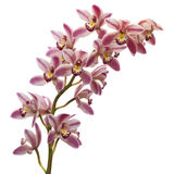 Beautyful orchid Stock Images