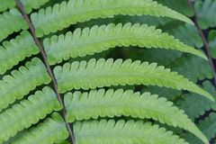 Beautyful ormbunkesidor gör grön den naturliga blom- ormbunken för lövverk royaltyfria bilder