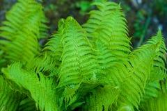 Beautyful ormbunkesidor gör grön naturlig blom- ormbunkebakgrund för lövverk i solljus fotografering för bildbyråer