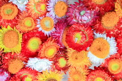 Beautyful of paperflower Stock Image