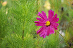 Beautyful pink flower on green Royalty Free Stock Photography