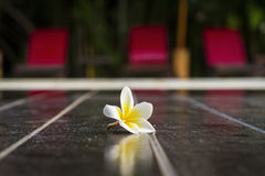 Beautyful Plumeria ter plaatse royalty-vrije stock fotografie