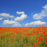 Beautyful red poppy field and blue sky with clouds. Beautiful red poppy field, blue sky with clouds and copy space, quadrangle format Royalty Free Stock Photography