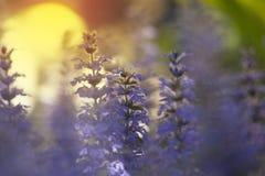 Beautyful składa barwionych błękitnych ajuga kwiaty przeciw położenia słońcu zdjęcia royalty free