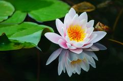 Water lily in the pond Royalty Free Stock Photos