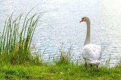 Beautyful white swan pond. Soil breaking with hot summer season Stock Image