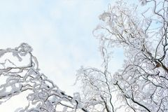 Beautyful winter background with snowy branches. And clear blue sky Stock Images