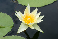 Beautyful yellow lotus is swamp. Stock Photography
