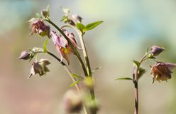 Beautyful young pink  floewrs of aquilegia with buds in spring stock images
