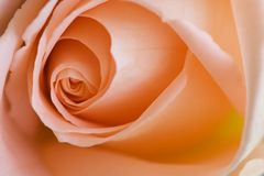 Beautyfull rose. Beautiful heart of a rose Royalty Free Stock Image