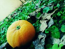 Beautyfull Shoot Orange Stock Photos