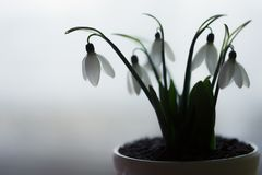 Beautyfull snowdrops in white pot on table in kitchen stock photography
