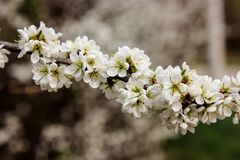 Spring blossom apple tree stock photos