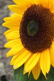 Sunflower in the summer in his full grow Stock Photo