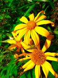 The three yellow flower. A beautyfull yellow fresh flower like the sun in the morning Stock Images