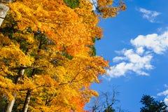 Beautyl-Ahornbaum im Herbst saisonal mit blauem Himmel Lizenzfreies Stockfoto