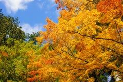 Beautyl-Ahornbaum im Herbst saisonal mit blauem Himmel Stockfotos