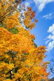 Beautyl-Ahornbaum im Herbst saisonal mit blauem Himmel Lizenzfreies Stockbild