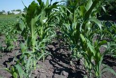 Beaux épis de jeune maïs vert sur le champ Image libre de droits