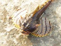 Beaux ailerons montrés par poissons attrapés Photos libres de droits
