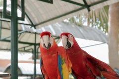 Beaux amis de l'oiseau deux d'ara en parc, perroquet Photo libre de droits
