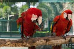 Beaux amis de l'oiseau deux d'ara en parc, perroquet Image libre de droits