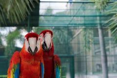 Beaux amis de l'oiseau deux d'ara en parc, perroquet Images libres de droits