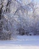 Beaux arbres avec la gelée après des chutes de neige en hiver photo libre de droits