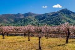Beaux arbres d'amande de floraison avec des fleurs dans le village de Jalon, Espagne Photo libre de droits