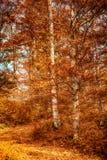 Beaux arbres d'automne dans la forêt colorée photos libres de droits