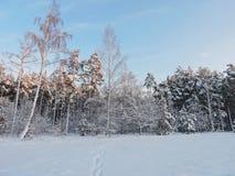 Beaux arbres d'hiver dans la forêt, Lithuanie Photographie stock