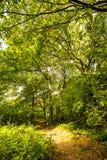 Beaux arbres dans la réserve naturelle du bois antérieure, Crowhurst, le Sussex est, Angleterre images libres de droits