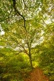 Beaux arbres dans la réserve naturelle du bois antérieure, Crowhurst, le Sussex est, Angleterre photo stock