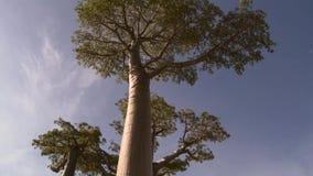 Beaux arbres de baobab à l'avenue des baobabs au Madagascar photo libre de droits