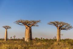 Beaux arbres de baobab au coucher du soleil à l'avenue des baobabs au Madagascar Photographie stock