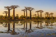 avenue de baobab madagascar image stock image du earth. Black Bedroom Furniture Sets. Home Design Ideas