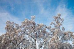 Beaux arbres de bouleau s'arrêtants contre un ciel bleu un jour de l'hiver Images stock