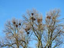 Beaux arbres et nids d'oiseaux de corneille, Lithuanie Image stock