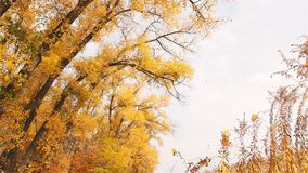 Beaux arbres jaunes en automne Feuillage de chutes des arbres Mouvement lent banque de vidéos