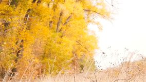 Beaux arbres jaunes sur le fond Les feuilles tombent dans le mouvement lent clips vidéos