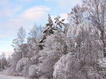 Beaux arbres neigeux d'hiver, Lithuanie Photographie stock libre de droits