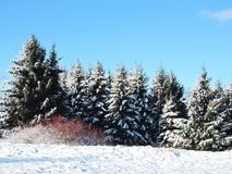 Beaux arbres neigeux d'hiver, Lithuanie Photo stock