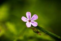 Beaux-arts de fond de famille de Geraniaceae de fleur de robertianum de géranium macro dans les produits de haute qualité d'impre image stock