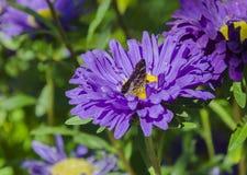 Beaux asters et fleurs de papillon image libre de droits
