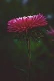 Beaux asters roses simples de fleur Fond foncé abstrait L'espace à l'arrière-plan pour la copie, texte, vos mots images stock