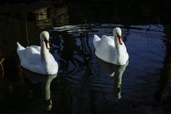 Beaux bains blancs de cygnes images stock