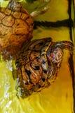Beaux bains de tortue dans l'eau image stock