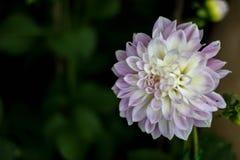 Beaux blanc et violette de fleur Image libre de droits