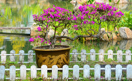 Beaux bonsaïs de bouganvillée Image libre de droits