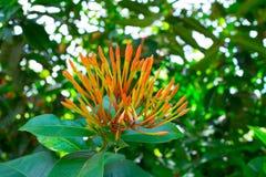 Beaux beaux bourgeon floraux oranges de transitoire d'Ixora avec lui feuilles vertes dans un printemps à un jardin botanique images libres de droits